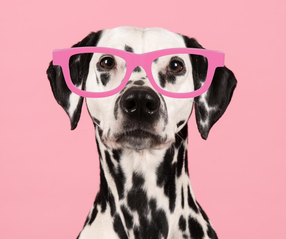 A Dalmatian wearing glasses pretending to do an online digital marketing course